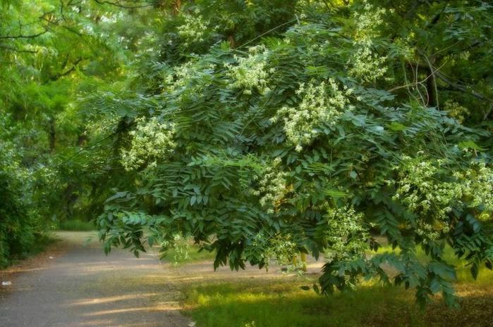 Sophora japonica - opis korisnih svojstava, primjena