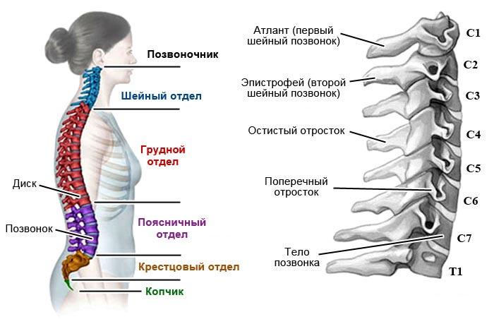 hipertenzija myshts- flexor)