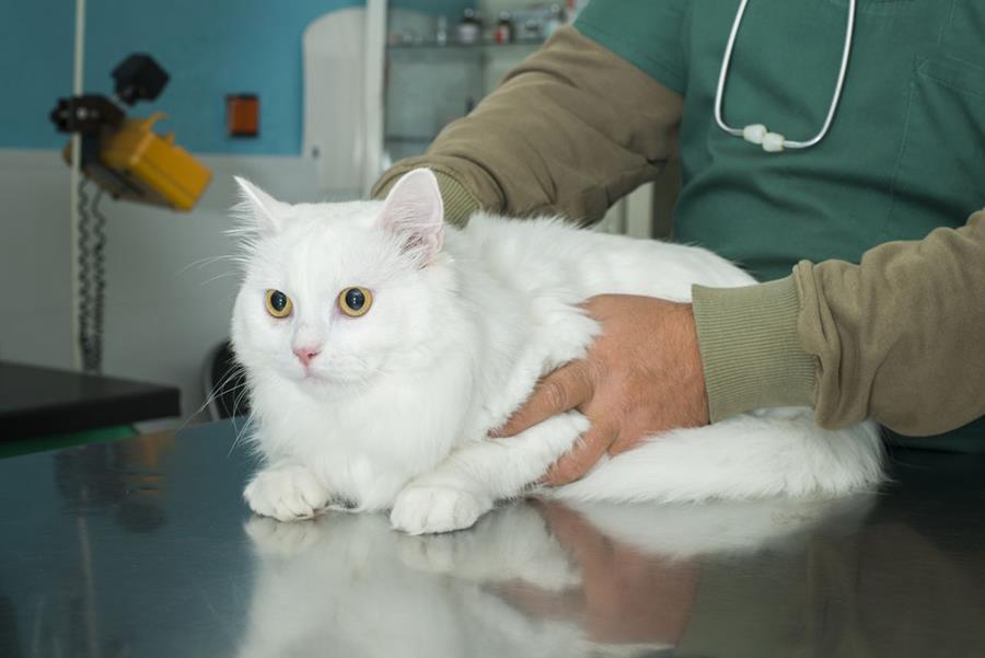 mačke liječenje hipertenzije)