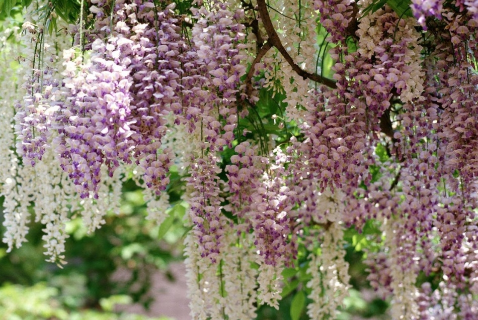primjena sophora japonica hipertenzije)