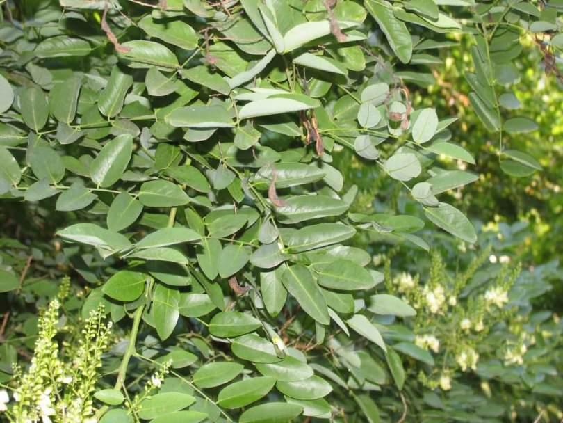 primjena sophora japonica hipertenzije